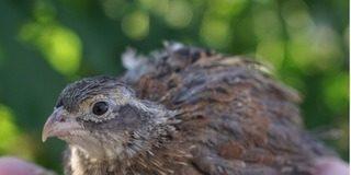 single quail band